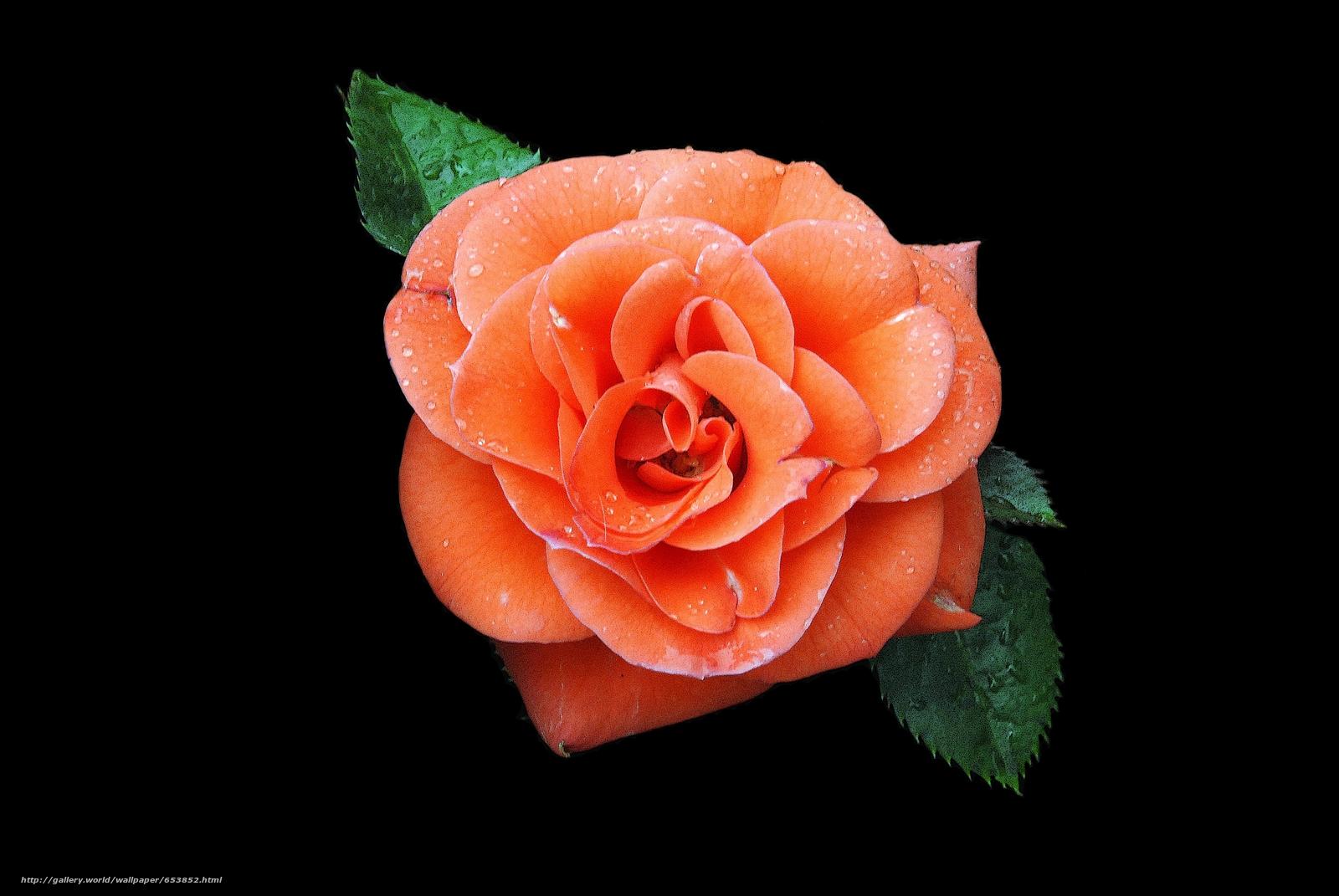 scaricare gli sfondi Roses,  Fiori,  fiore,  Macro Sfondi gratis per la risoluzione del desktop 3872x2592 — immagine №653852