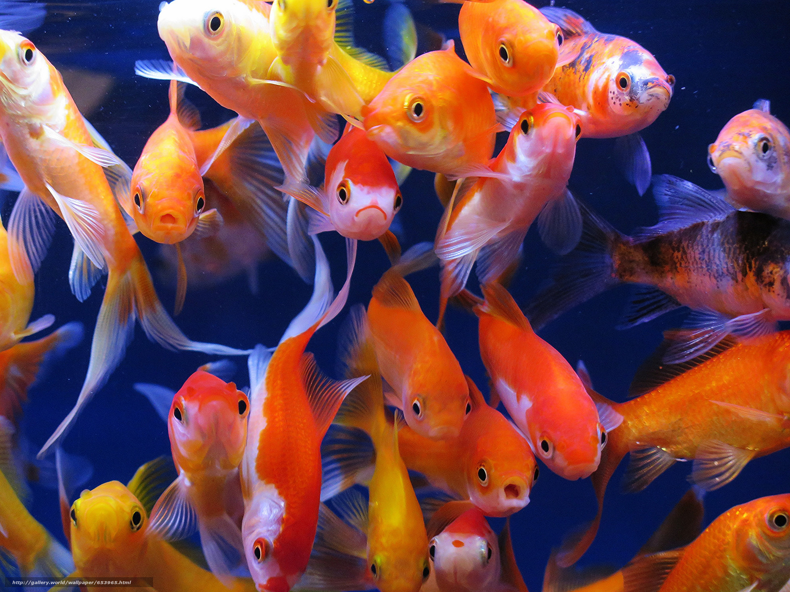 Download wallpaper aquarium fish,  aquarium,  goldfish free desktop wallpaper in the resolution 2048x1536 — picture №653965