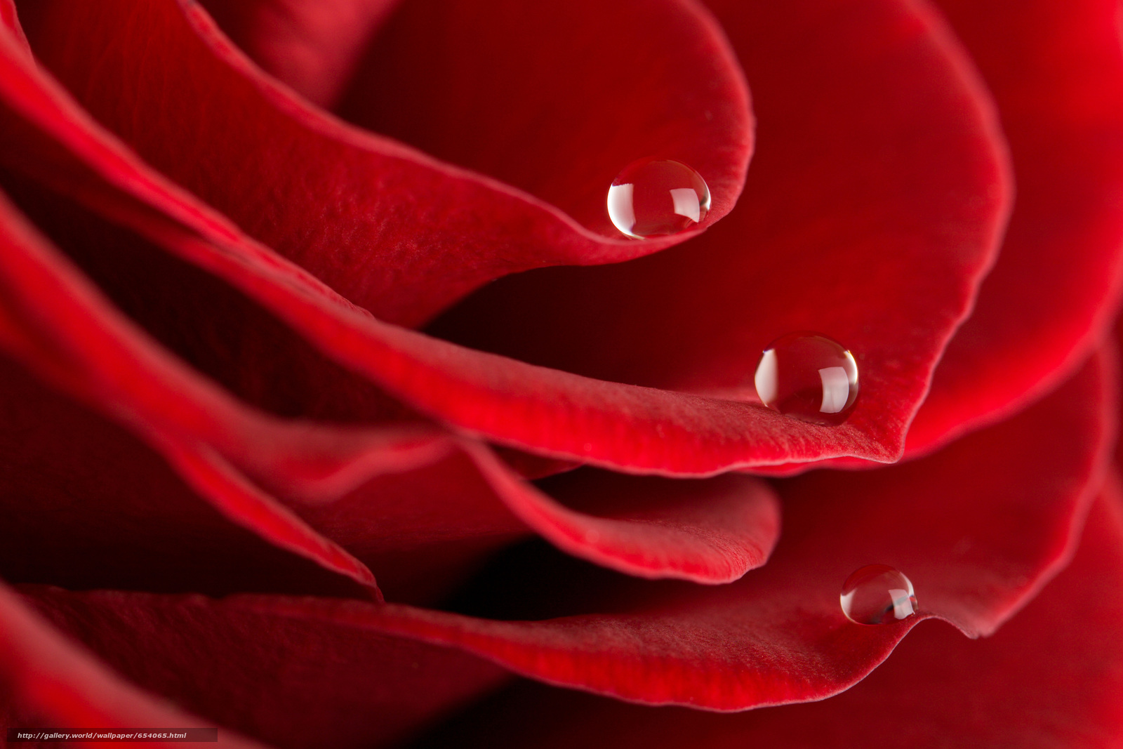 Download wallpaper rose,  Roses,  flower,  Flowers free desktop wallpaper in the resolution 7008x4672 — picture №654065