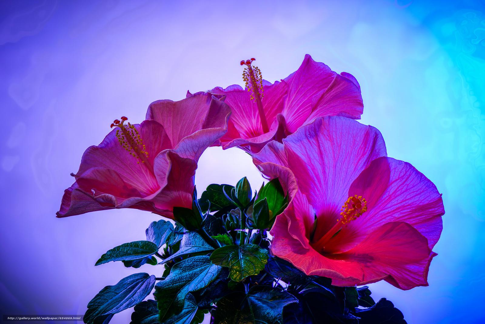 Скачать обои Hibiscus,  цветок,  флора бесплатно для рабочего стола в разрешении 2048x1367 — картинка №654069