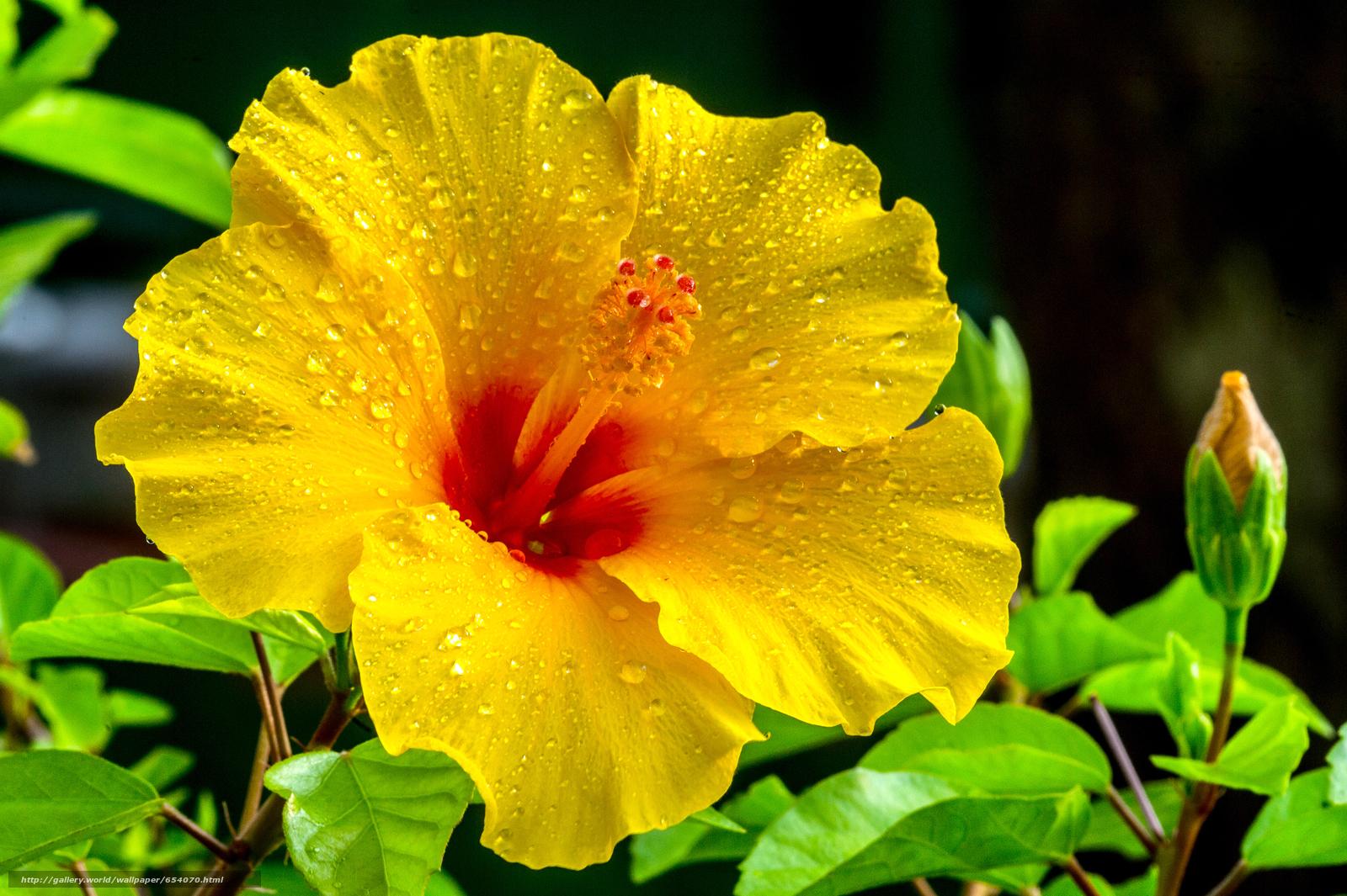 下载壁纸 槿,  花,  植物群 免费为您的桌面分辨率的壁纸 4928x3280 — 图片 №654070
