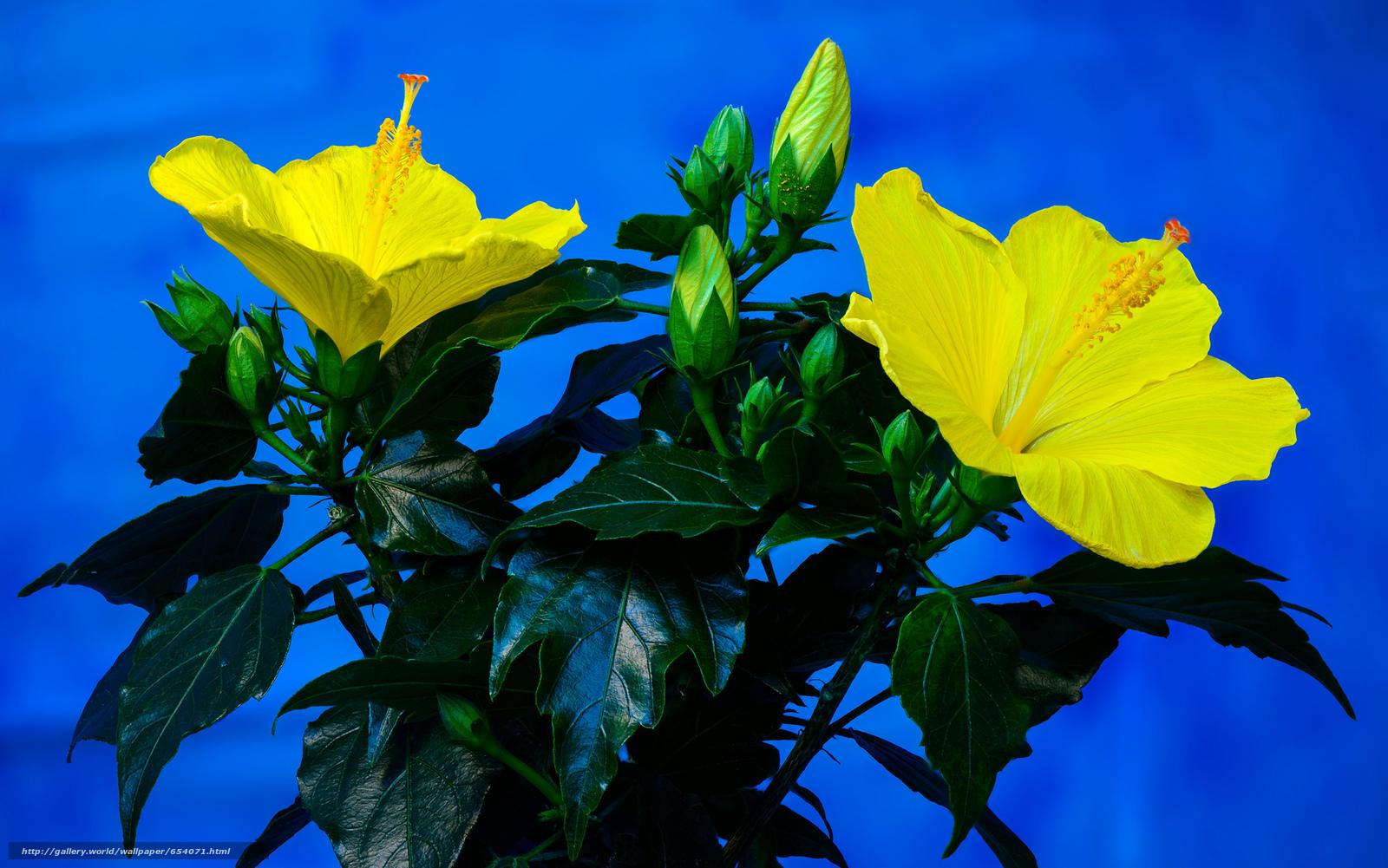 Скачать обои Hibiscus,  цветок,  флора бесплатно для рабочего стола в разрешении 2048x1281 — картинка №654071
