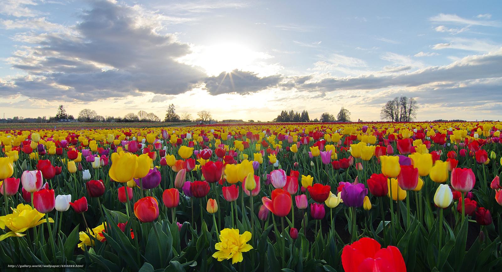 Scaricare Gli Sfondi Campo Fiori Tulipani Flora Sfondi Gratis Per