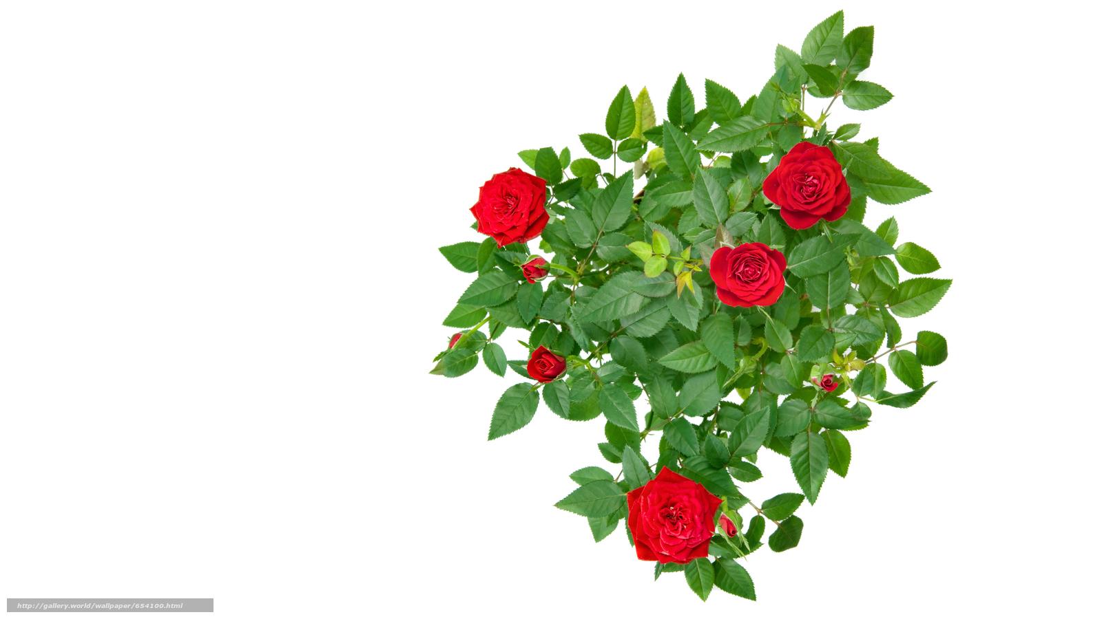 Descargar gratis rosa,  Roses,  flor,  Flores Fondos de escritorio en la resolucin 7201x4051 — imagen №654100