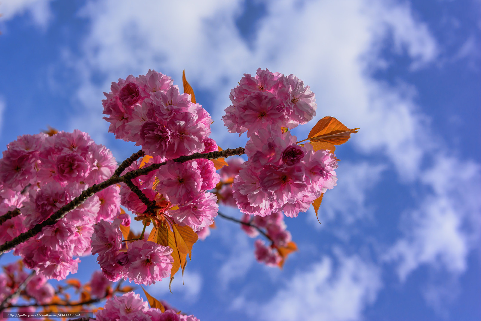 Download wallpaper cherry blossoms,  tsyety,  BRANCH,  flora free desktop wallpaper in the resolution 2048x1370 — picture №654238