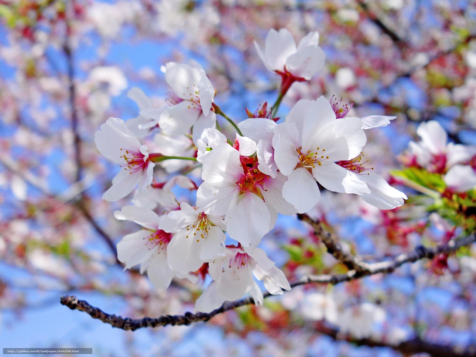 Scaricare gli sfondi fiori di ciliegio tsyety filiale for Sfondi desktop fiori