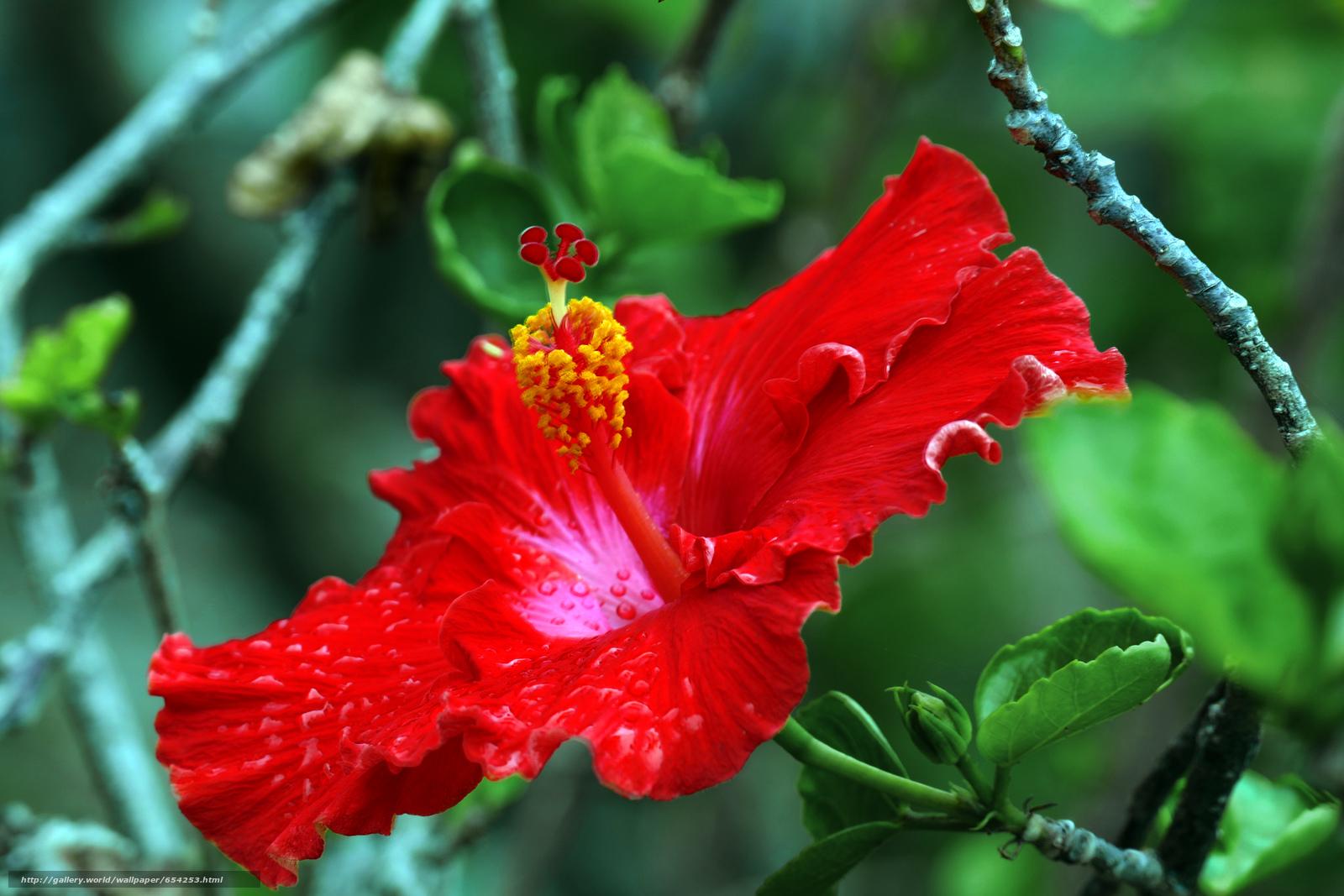 Скачать обои Hibiscus,  цветок,  флора бесплатно для рабочего стола в разрешении 5472x3648 — картинка №654253