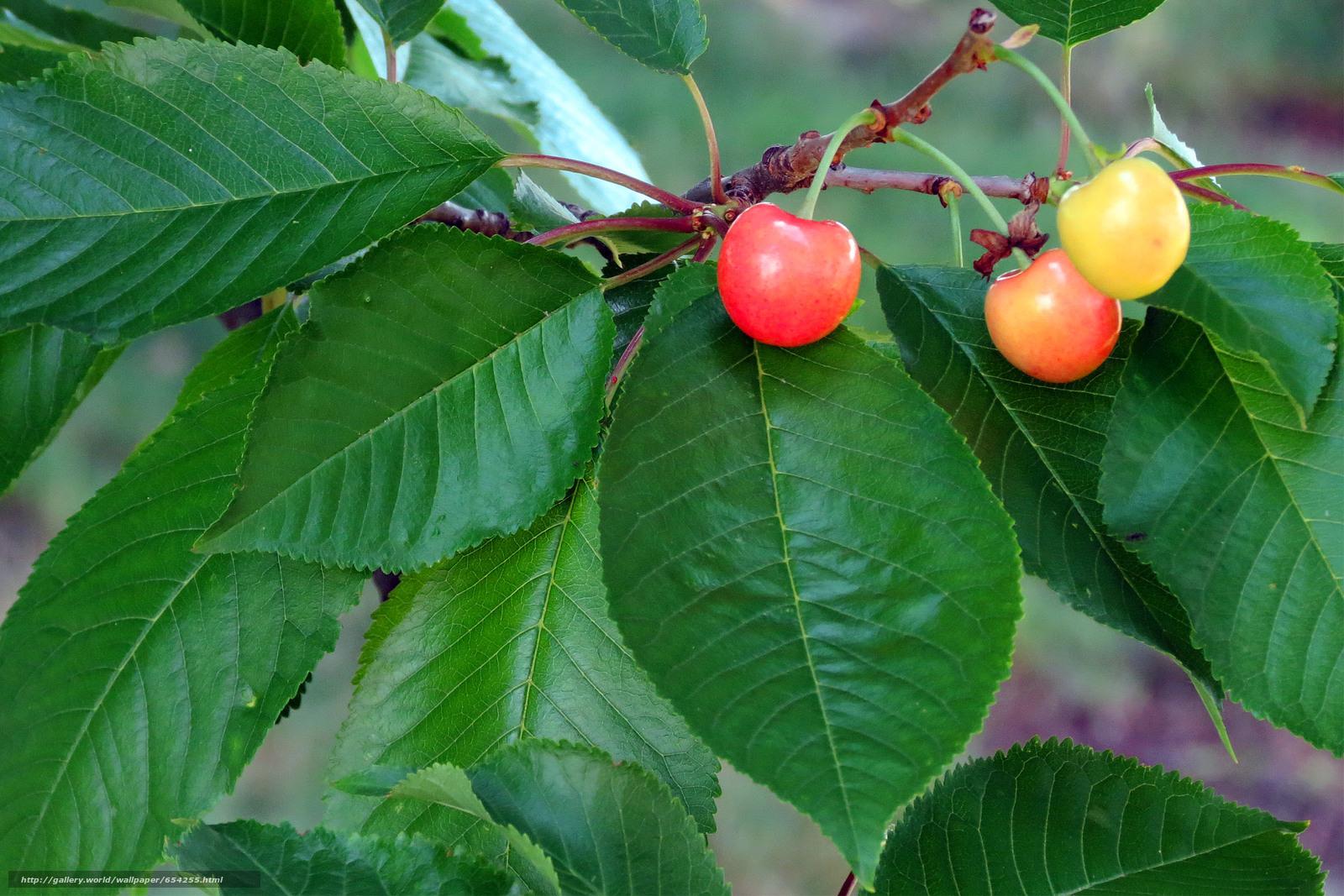 Скачать обои ветки,  листья,  ягоды,  черешня бесплатно для рабочего стола в разрешении 2400x1600 — картинка №654255