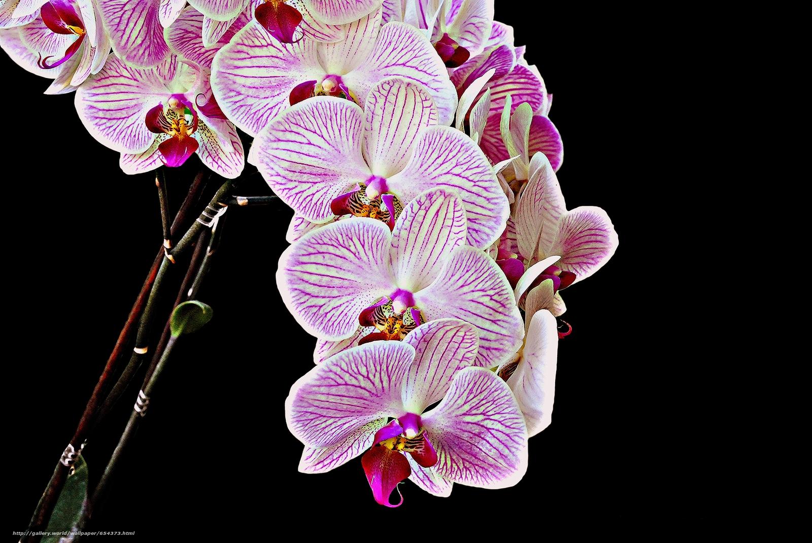 Descargar gratis orquídea,  flor,  flora Fondos de escritorio en la resolucin 3872x2592 — imagen №654373