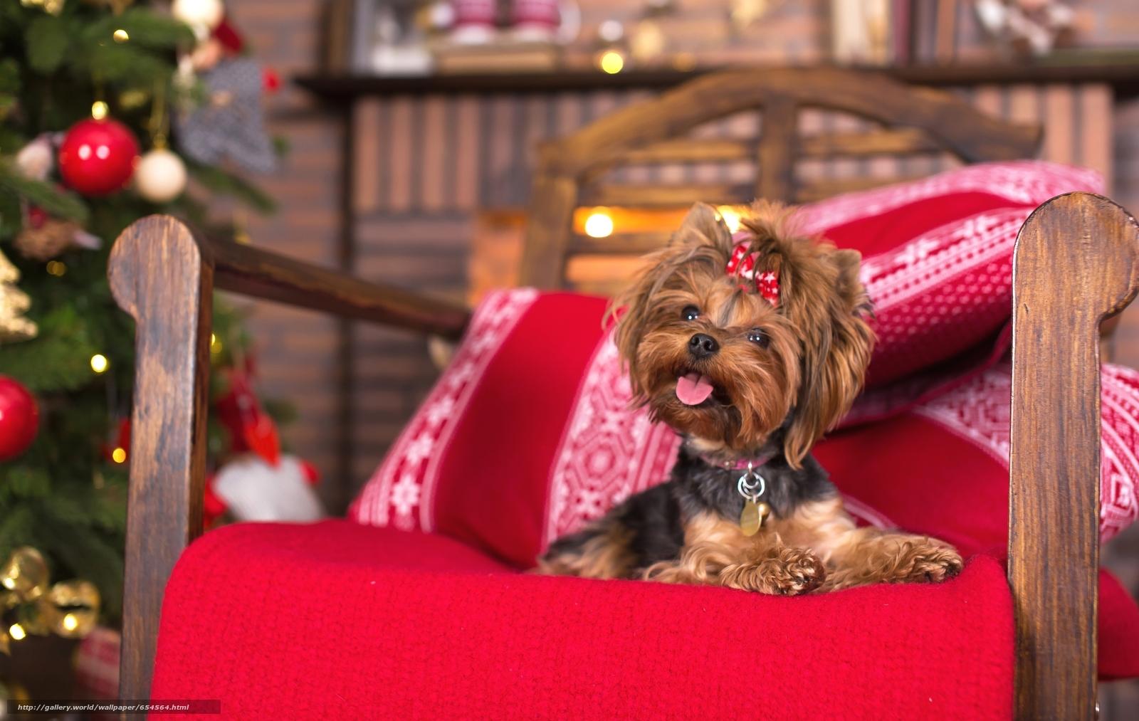 Скачать обои Йоркширский терьер,  собака,  собачонка,  кресло бесплатно для рабочего стола в разрешении 2400x1519 — картинка №654564