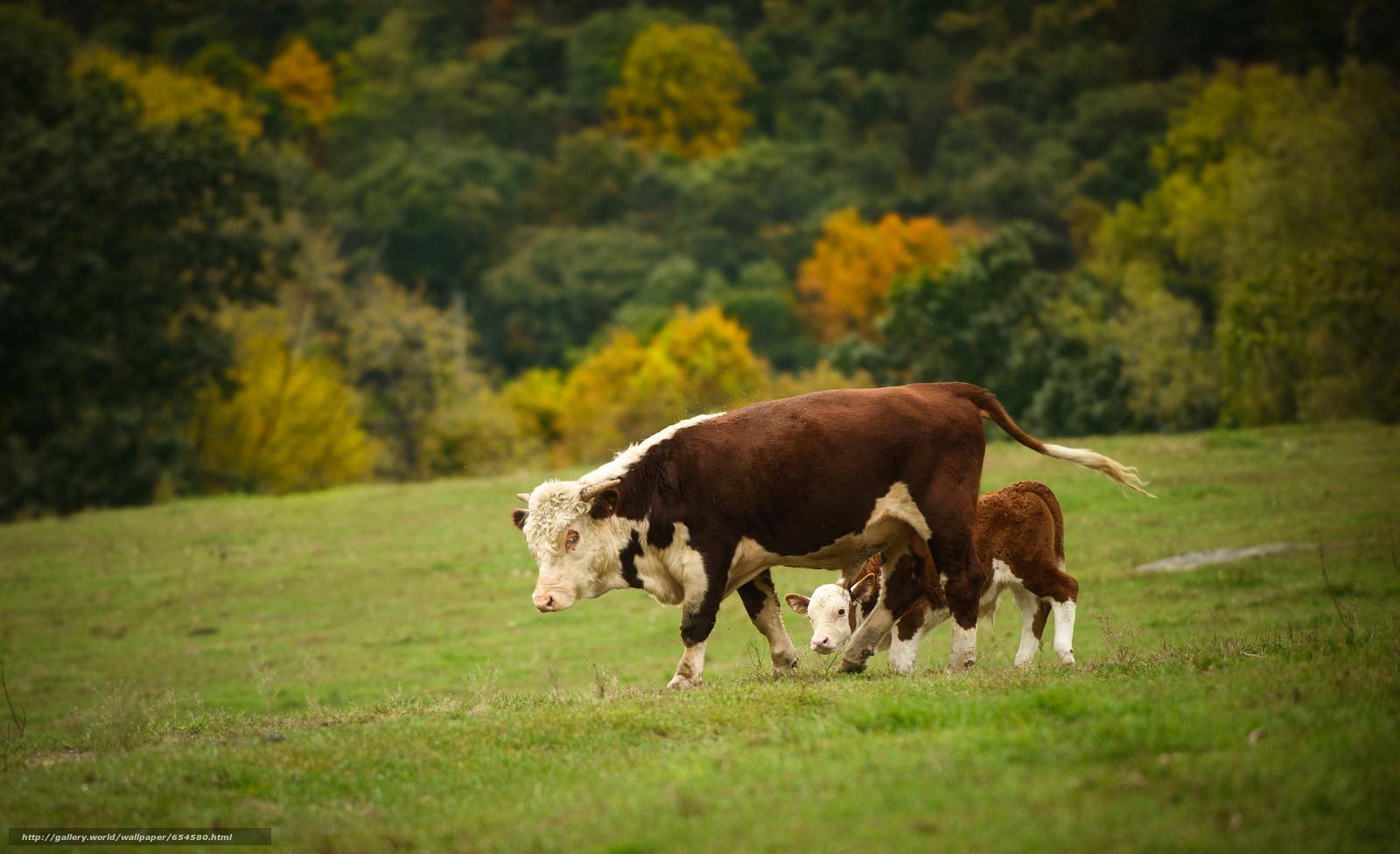 Скачать обои корова,  коровы,  теленок,  природа бесплатно для рабочего стола в разрешении 2048x1251 — картинка №654580