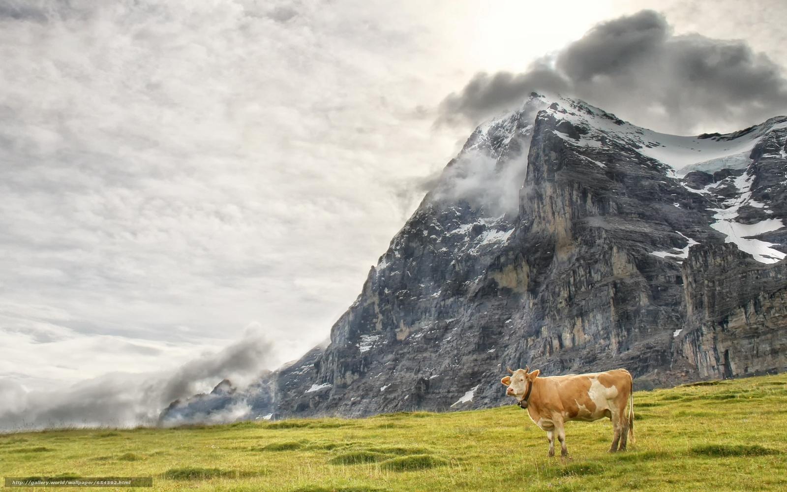 Baixar Wallpaper vaca,  COW,  natureza,  artiodáctilos Papis de parede grtis na resoluo 1920x1200 — quadro №654592