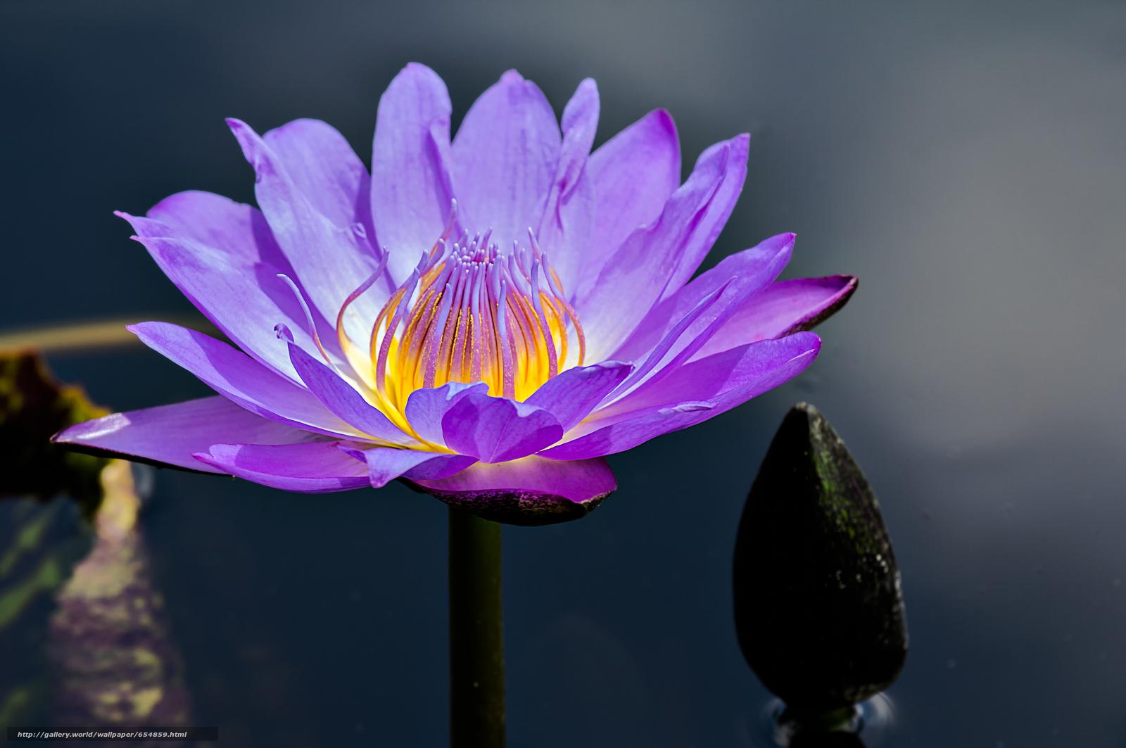Descargar gratis nenúfar,  Nenúfares,  Flores,  flora Fondos de escritorio en la resolucin 4896x3252 — imagen №654859