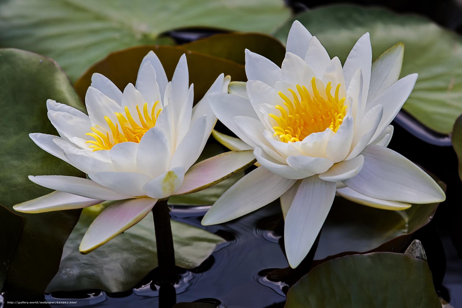 Скачать обои водяная лилия,  водяные лилии,  цветы,  флора бесплатно для рабочего стола в разрешении 4511x3007 — картинка №654861