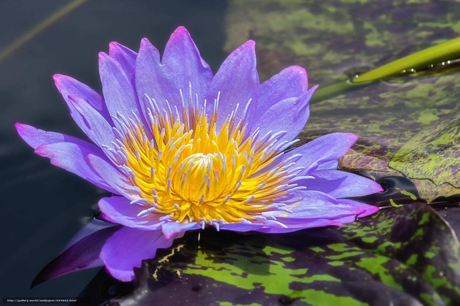Скачать обои водяная лилия,  водяные лилии,  цветы,  флора бесплатно для рабочего стола в разрешении 4020x2680 — картинка №654865