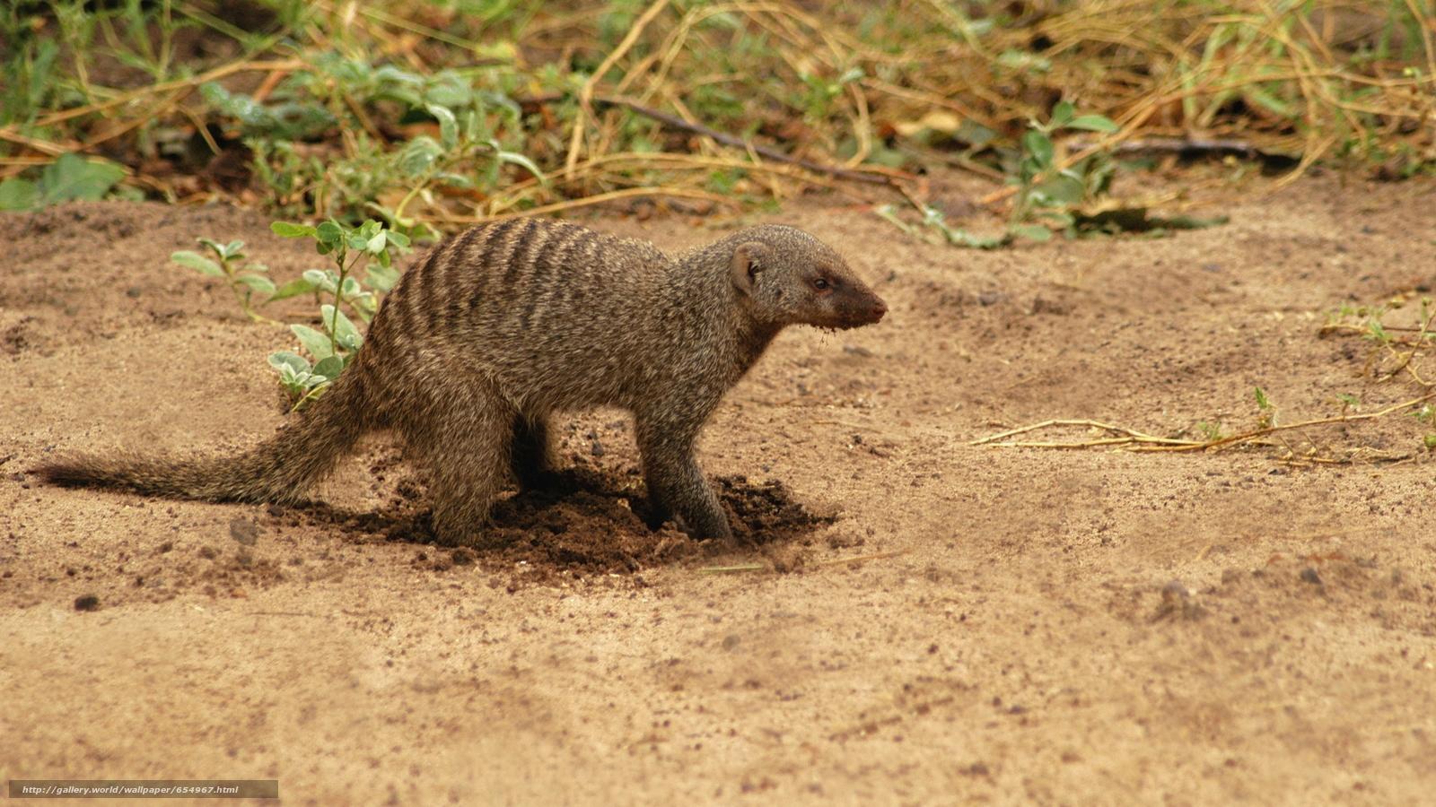 Descargar gratis África,  Animales africanos,  foto-bosquejos naturalista,  algunos hurón locales Fondos de escritorio en la resolucin 5616x3159 — imagen №654967