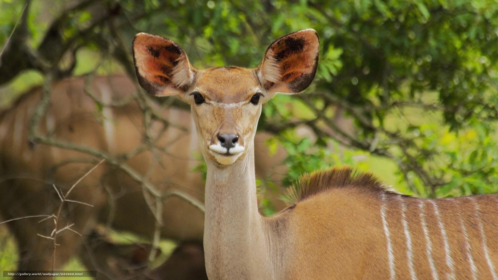 Скачать обои Африка,  африканские животные,  фотозарисовки натуралиста,  антилопа бесплатно для рабочего стола в разрешении 5619x3160 — картинка №654968