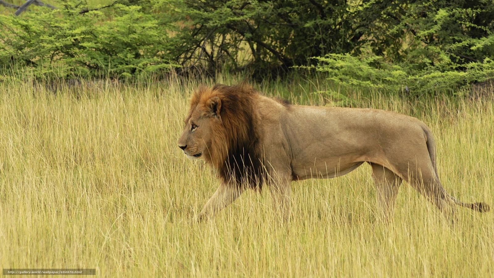 Descargar gratis África,  Animales africanos,  foto-bosquejos naturalista,  león Fondos de escritorio en la resolucin 5616x3159 — imagen №654970