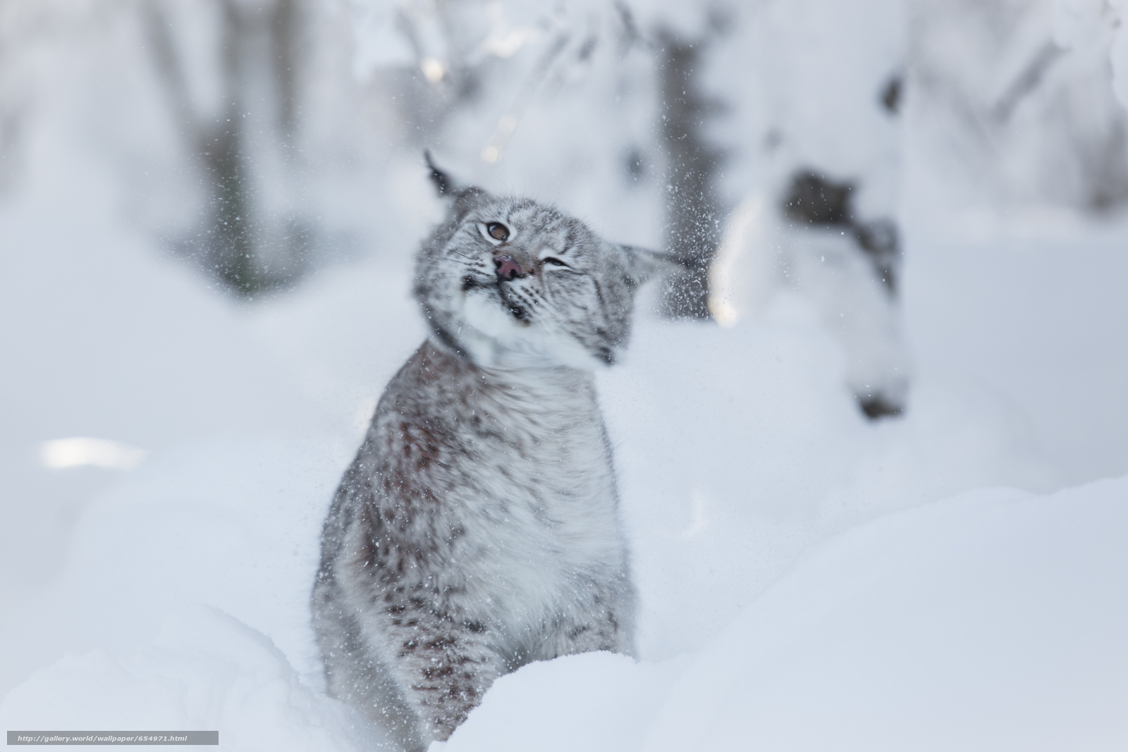 下载壁纸 猞猁,  山猫,  rysenok,  猫 免费为您的桌面分辨率的壁纸 5247x3498 — 图片 №654971