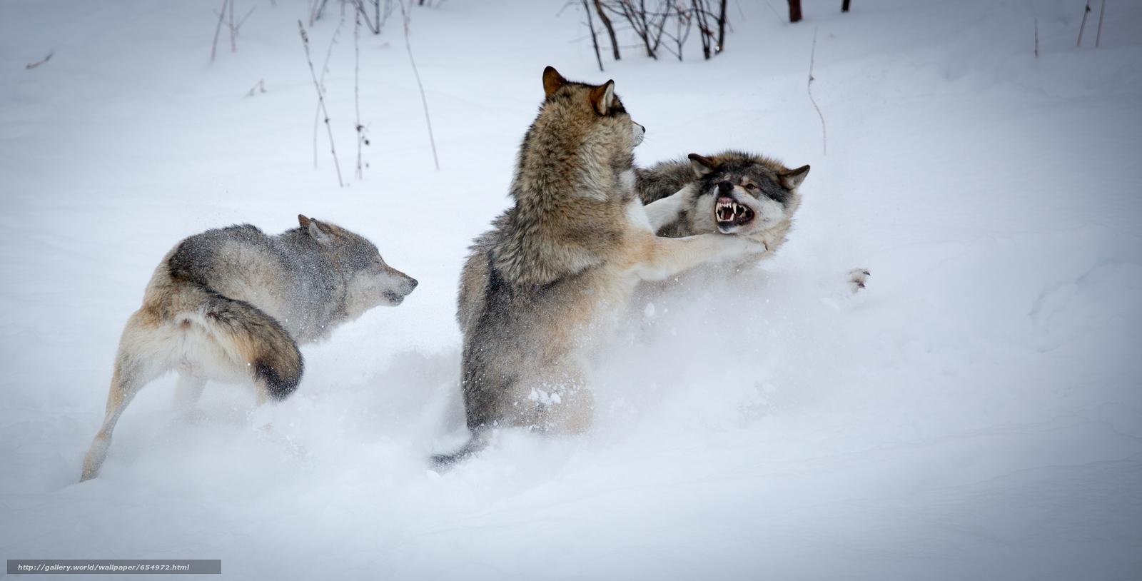 Download wallpaper winter,  Wolves,  predators free desktop wallpaper in the resolution 4786x2435 — picture №654972