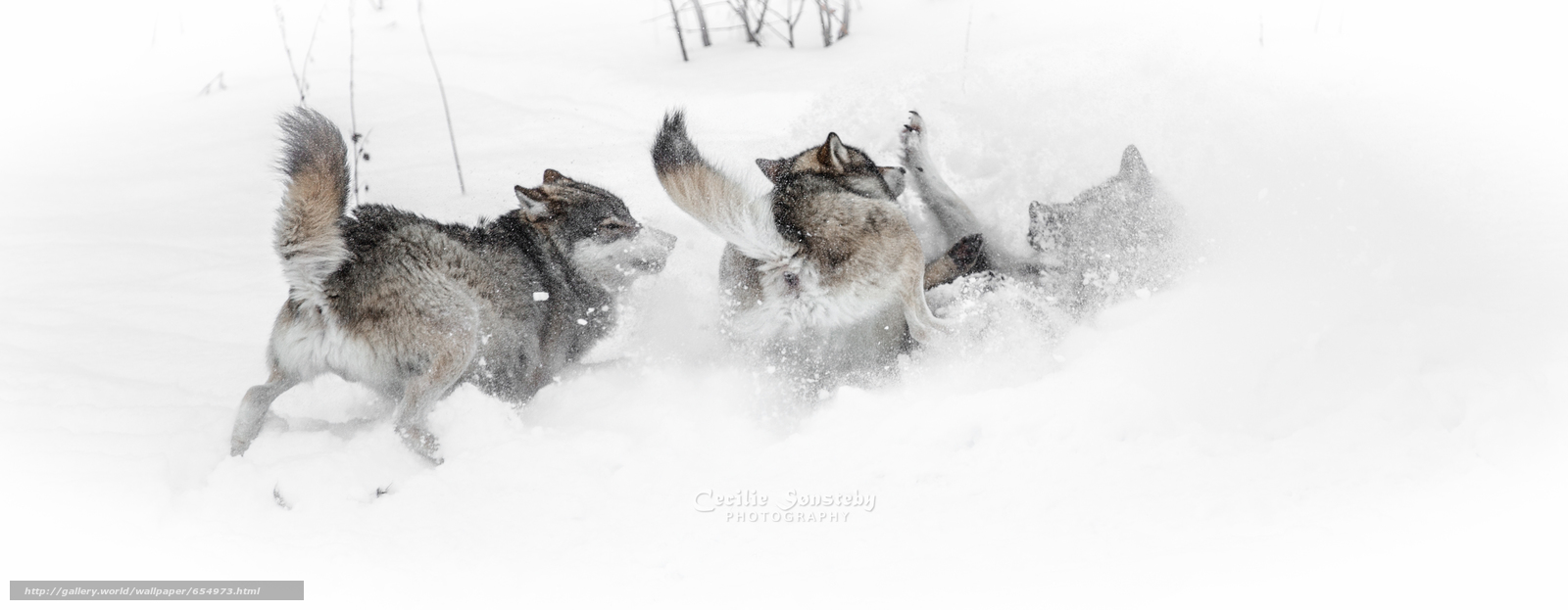 Скачать обои волк,  волки,  животные,  зима бесплатно для рабочего стола в разрешении 4850x1888 — картинка №654973