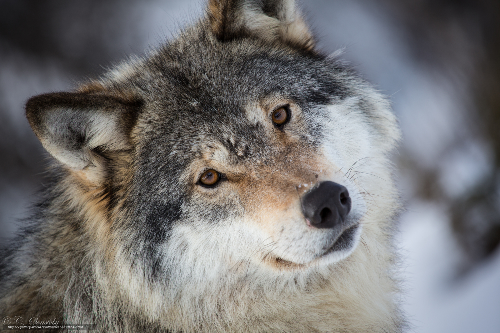 Download wallpaper wolf,  Wolves,  animals,  winter free desktop wallpaper in the resolution 5760x3840 — picture №654974
