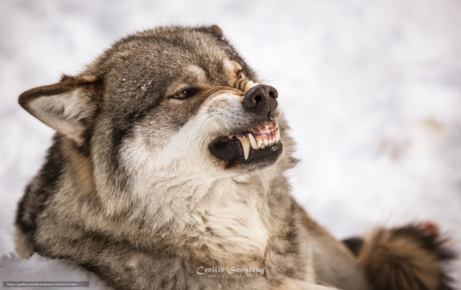 Download wallpaper wolf,  Wolves,  animals,  winter free desktop wallpaper in the resolution 5527x3473 — picture №654975
