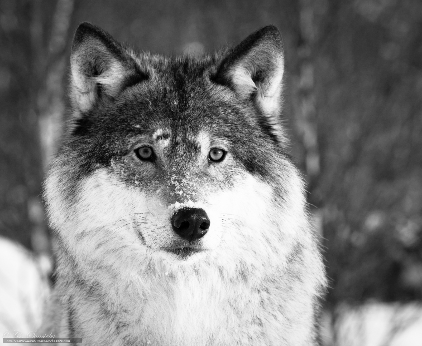 Download wallpaper wolf,  Wolves,  animals,  winter free desktop wallpaper in the resolution 3347x2748 — picture №654976