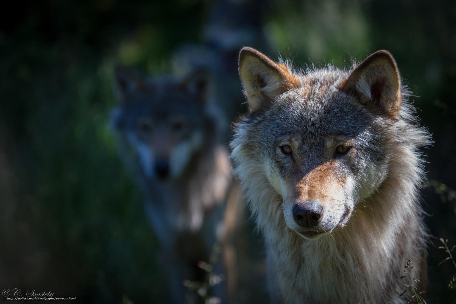 Tlcharger Fond d'ecran loup,  Wolves,  animaux,  hiver Fonds d'ecran gratuits pour votre rsolution du bureau 5760x3840 — image №654977