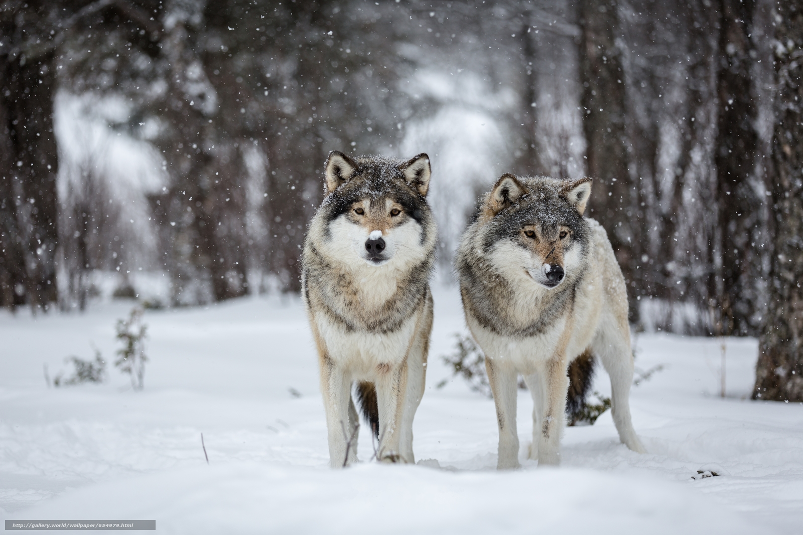 Download wallpaper winter,  Wolves,  predators free desktop wallpaper in the resolution 5760x3840 — picture №654979