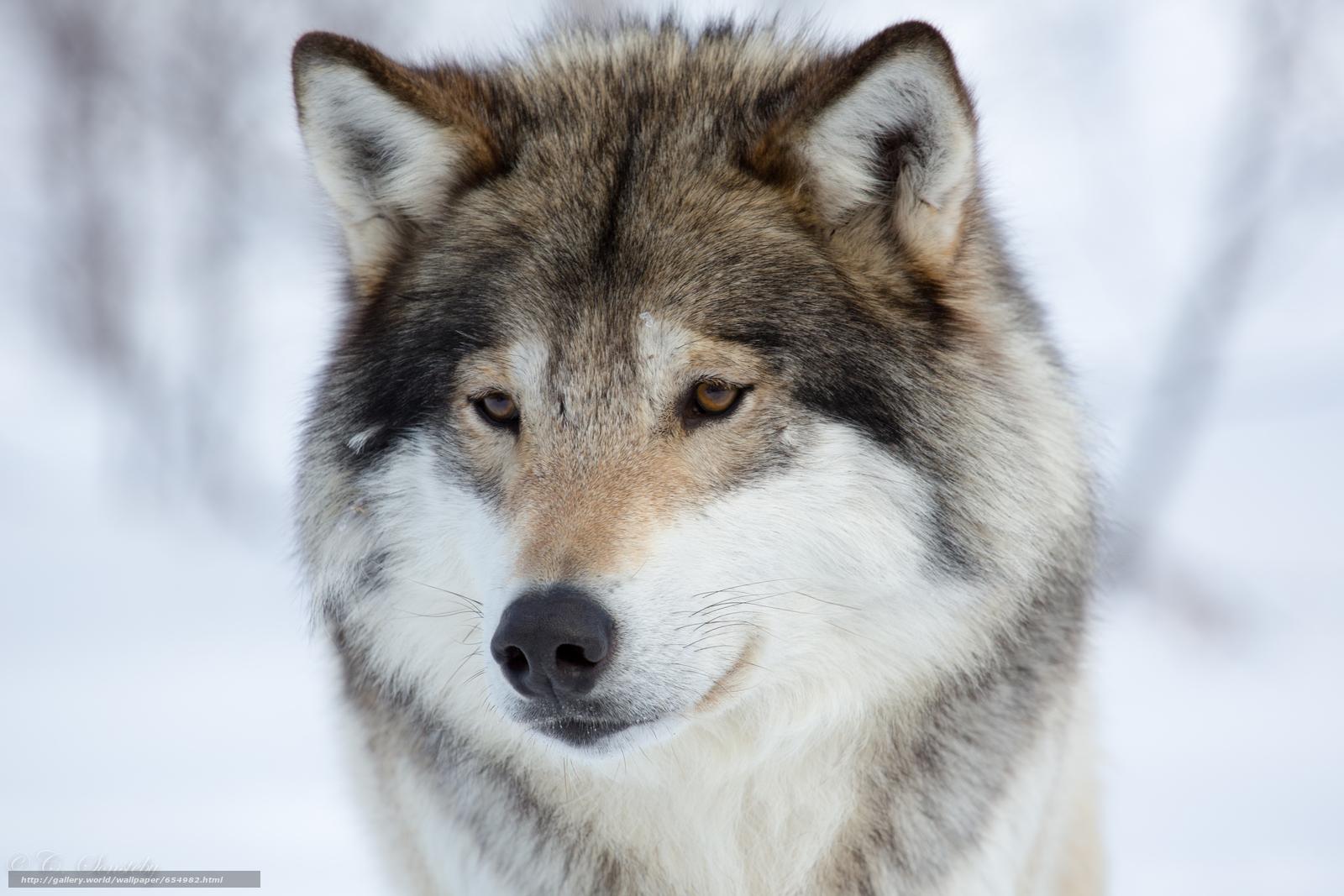 scaricare gli sfondi lupo,  Lupi,  animali,  inverno Sfondi gratis per la risoluzione del desktop 5760x3840 — immagine №654982