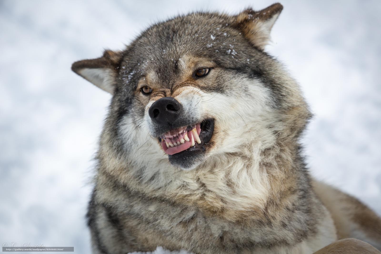 Tlcharger Fond d'ecran loup,  Wolves,  animaux,  hiver Fonds d'ecran gratuits pour votre rsolution du bureau 5760x3840 — image №654985