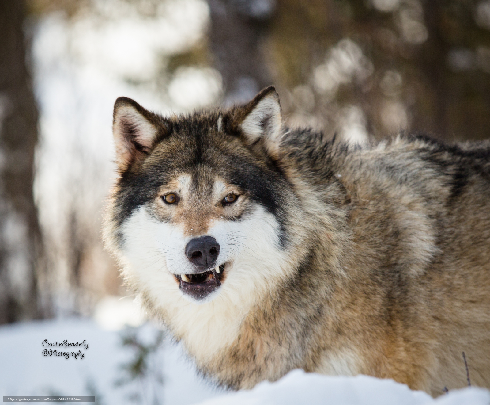 Download wallpaper wolf,  Wolves,  animals,  winter free desktop wallpaper in the resolution 2832x2339 — picture №654986