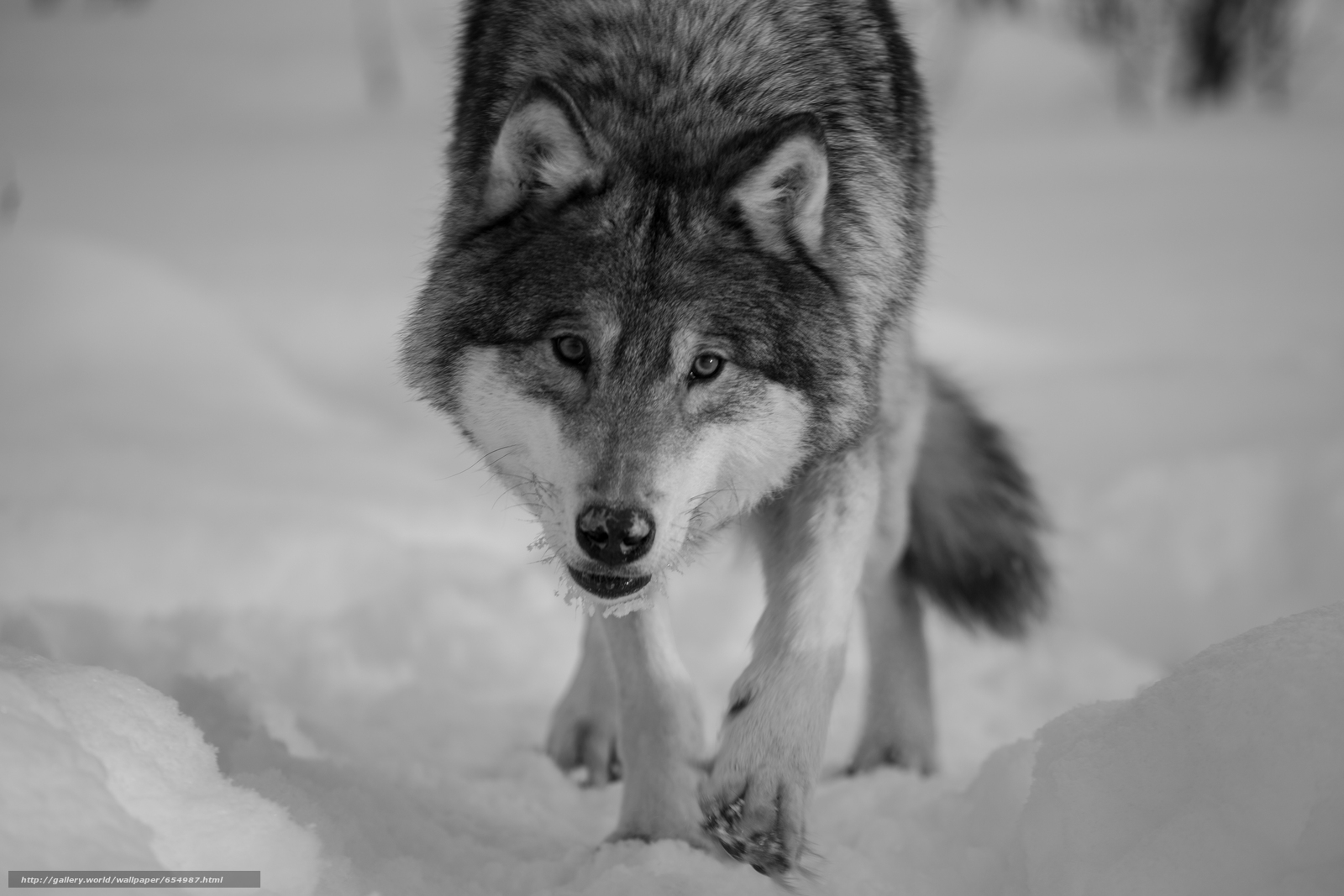 Download wallpaper wolf,  Wolves,  animals,  winter free desktop wallpaper in the resolution 5760x3840 — picture №654987