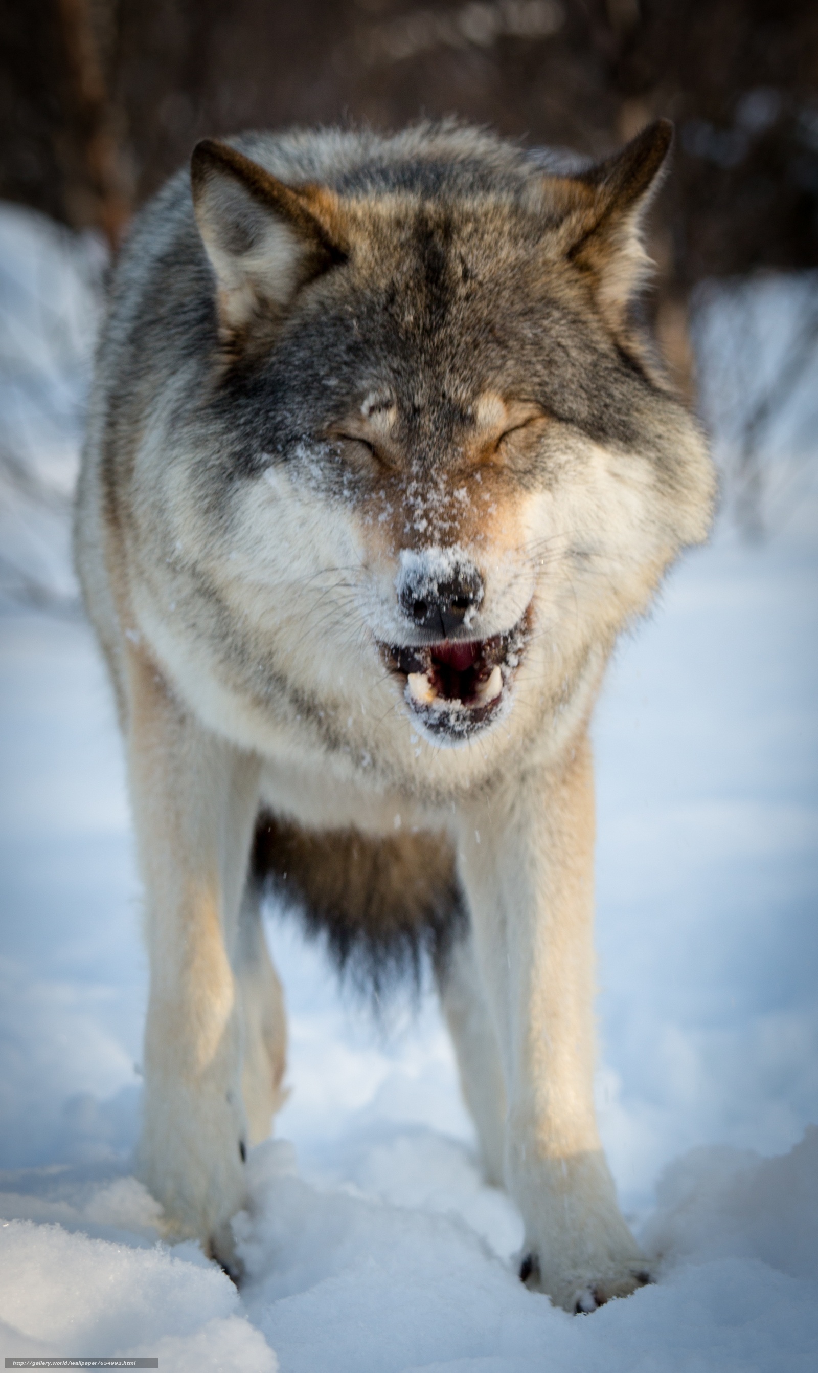 Download wallpaper wolf,  Wolves,  animals,  winter free desktop wallpaper in the resolution 1860x3119 — picture №654992