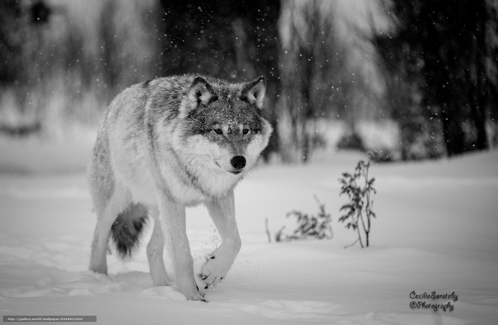 Download wallpaper wolf,  Wolves,  animals,  winter free desktop wallpaper in the resolution 4687x3064 — picture №654993