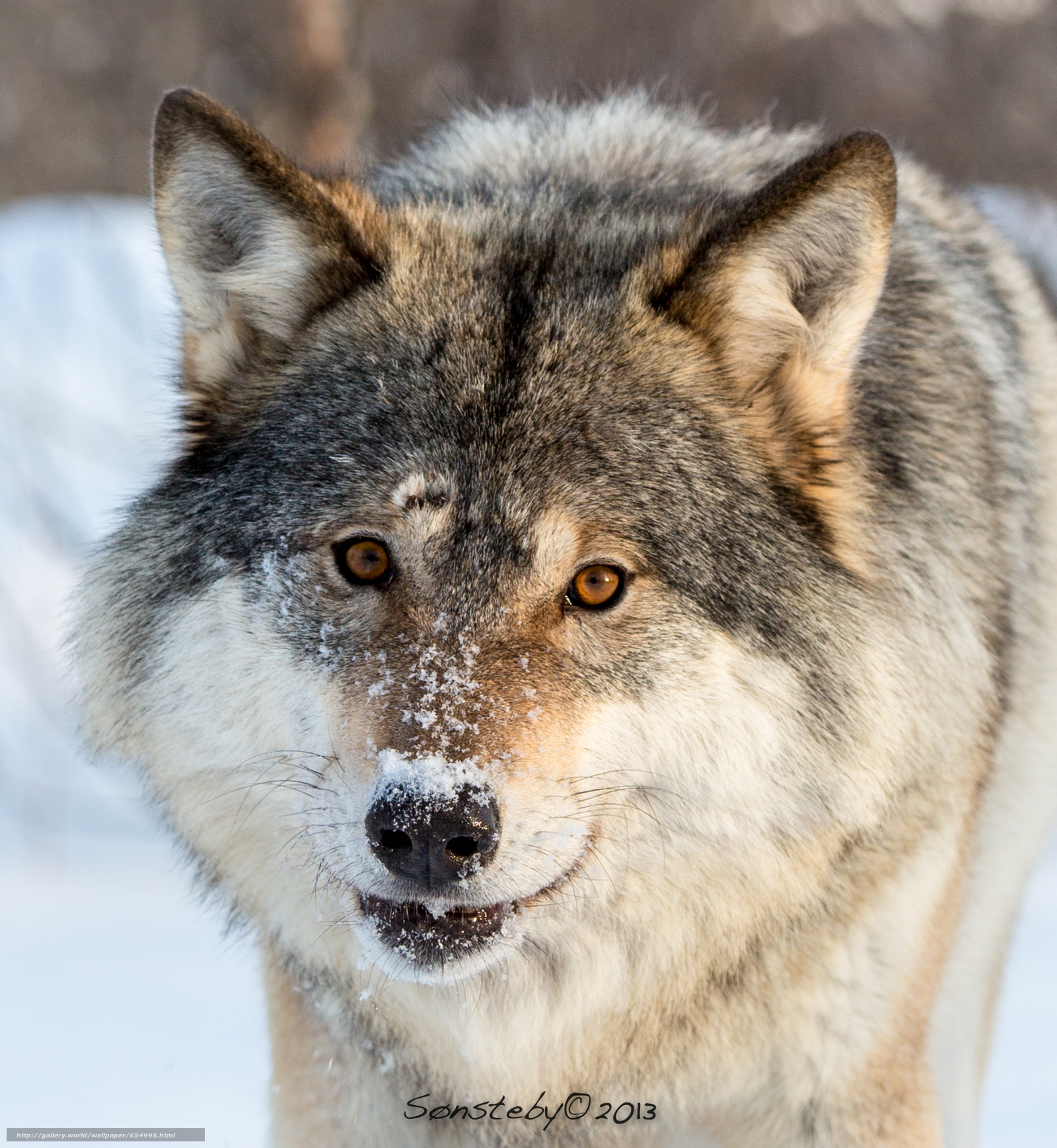 Download wallpaper wolf,  Wolves,  animals,  winter free desktop wallpaper in the resolution 1625x1765 — picture №654995