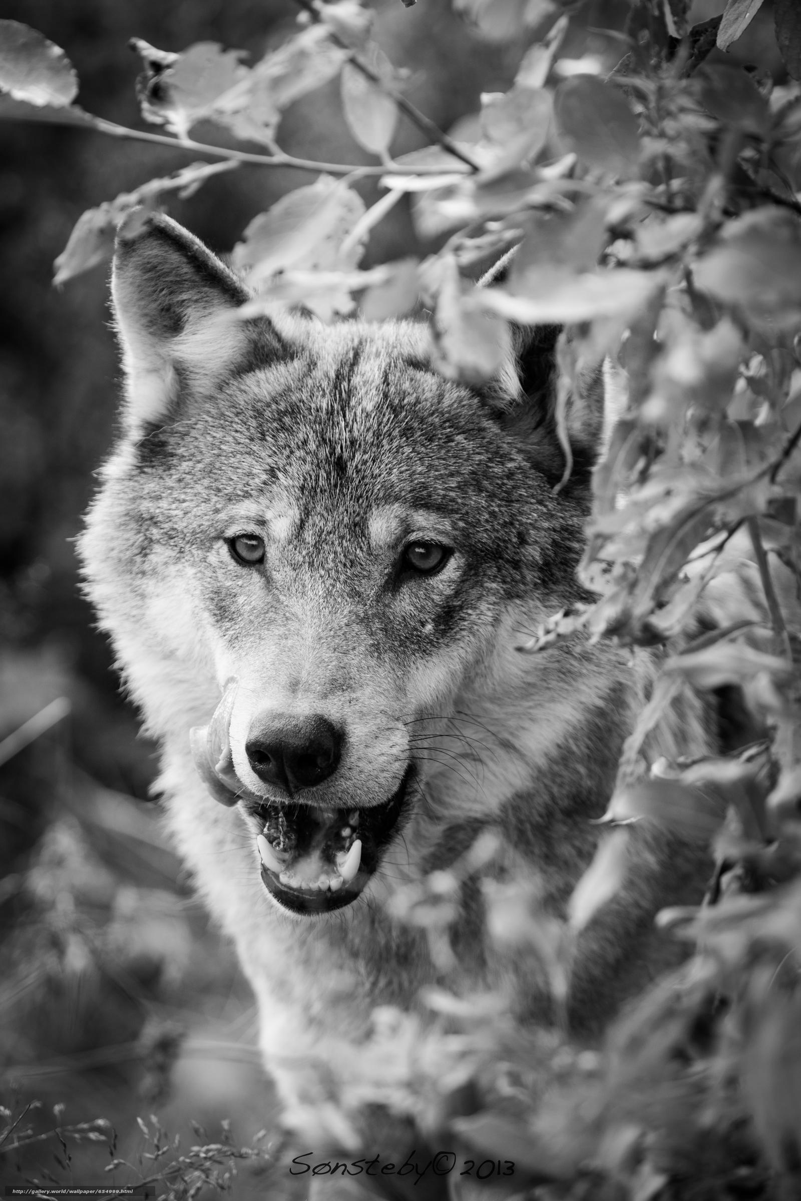 Tlcharger Fond d'ecran loup,  Wolves,  animaux,  portrait Fonds d'ecran gratuits pour votre rsolution du bureau 3840x5760 — image №654999