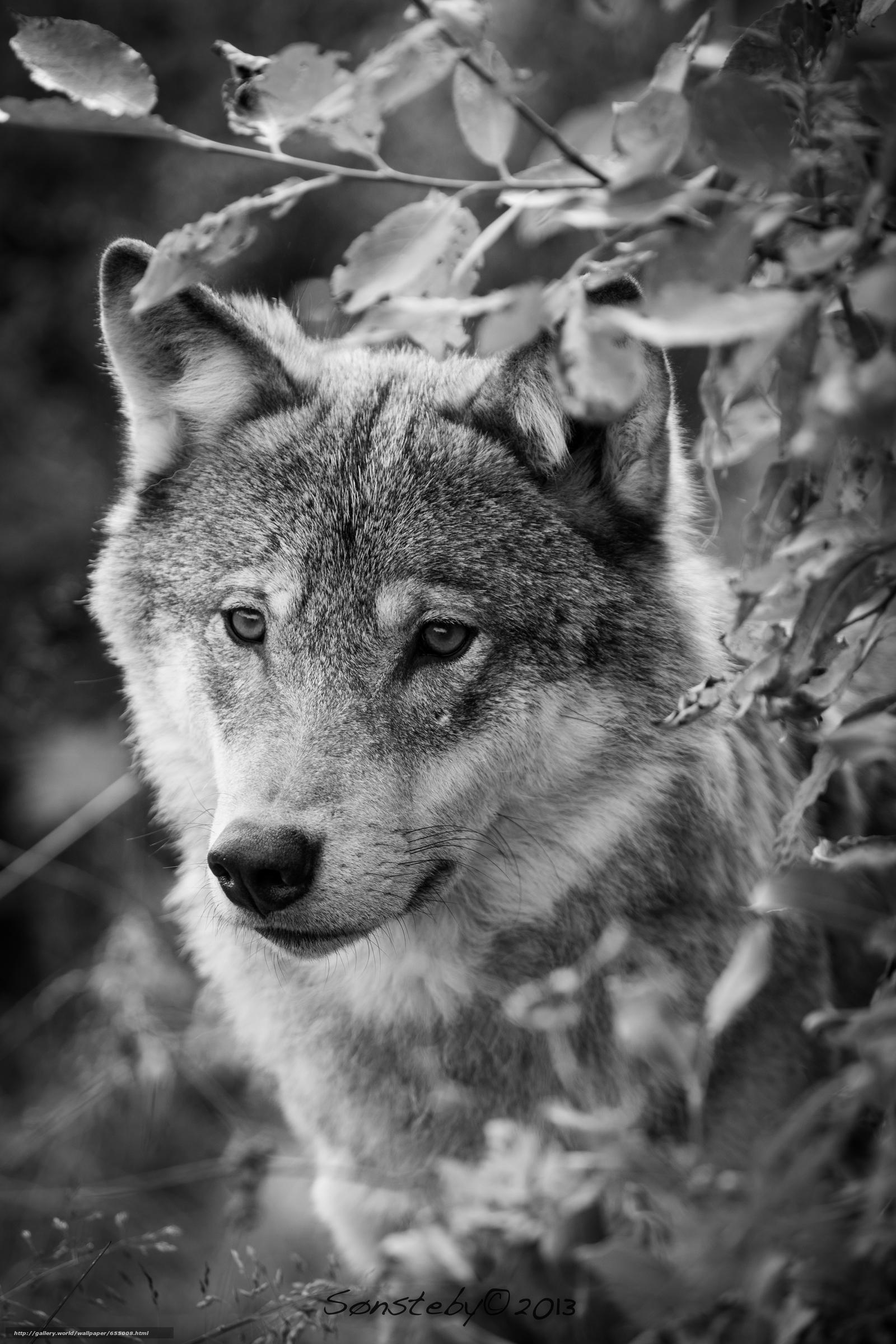 Tlcharger Fond d'ecran loup,  Wolves,  animaux,  portrait Fonds d'ecran gratuits pour votre rsolution du bureau 3840x5760 — image №655008