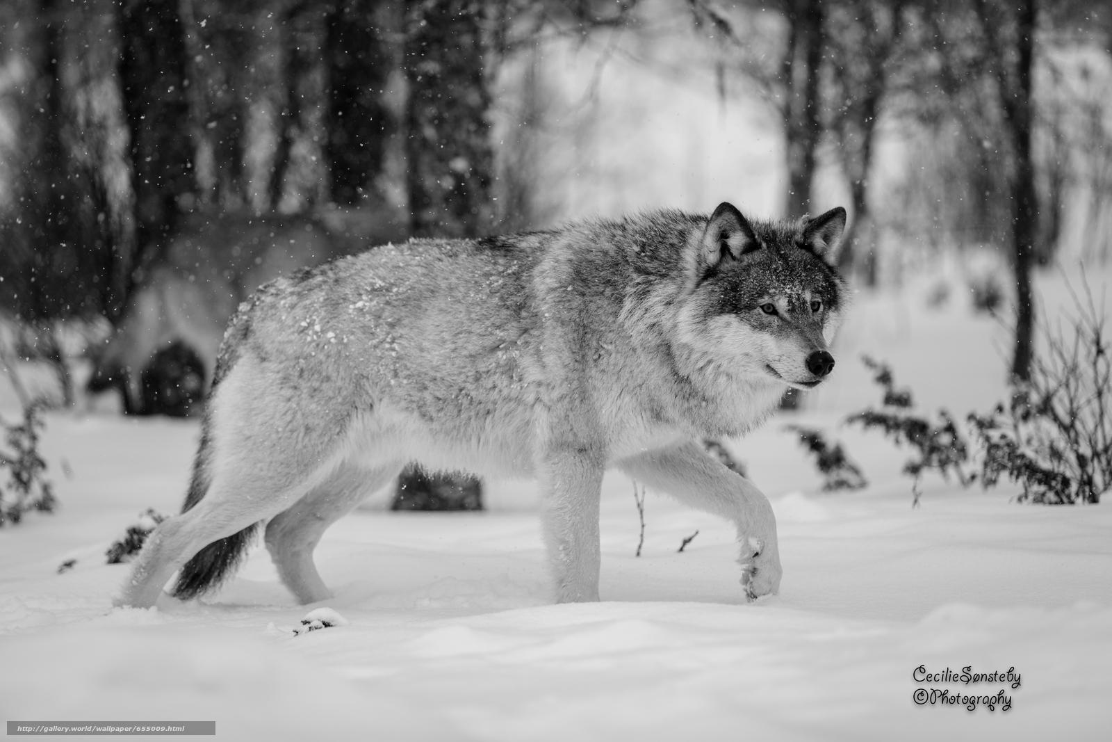 Скачать обои волк,  волки,  животные,  зима бесплатно для рабочего стола в разрешении 5760x3840 — картинка №655009