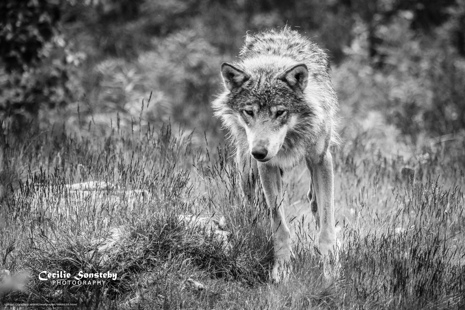 Download wallpaper wolf,  Wolves,  animals,  Mono free desktop wallpaper in the resolution 4453x2969 — picture №655010