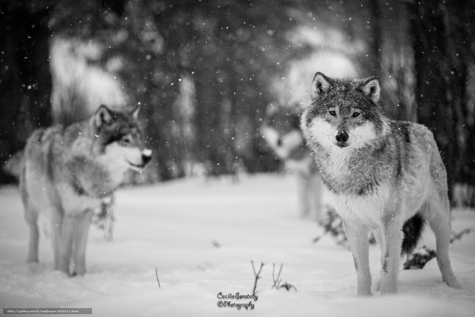 scaricare gli sfondi lupo,  Lupi,  animali,  inverno Sfondi gratis per la risoluzione del desktop 5760x3840 — immagine №655011