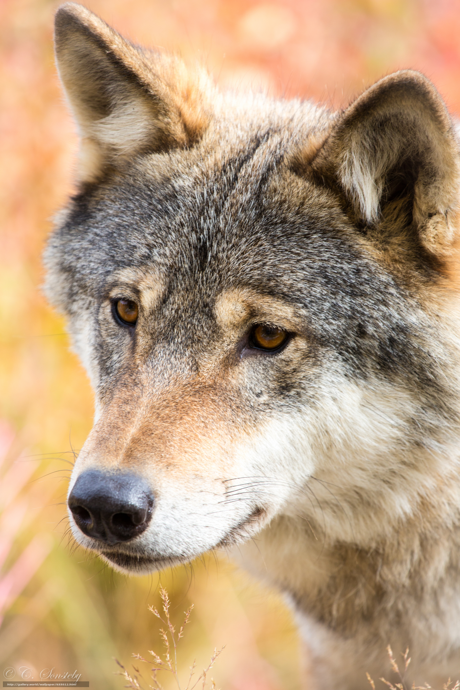 Download wallpaper wolf,  Wolves,  animals free desktop wallpaper in the resolution 3840x5760 — picture №655012