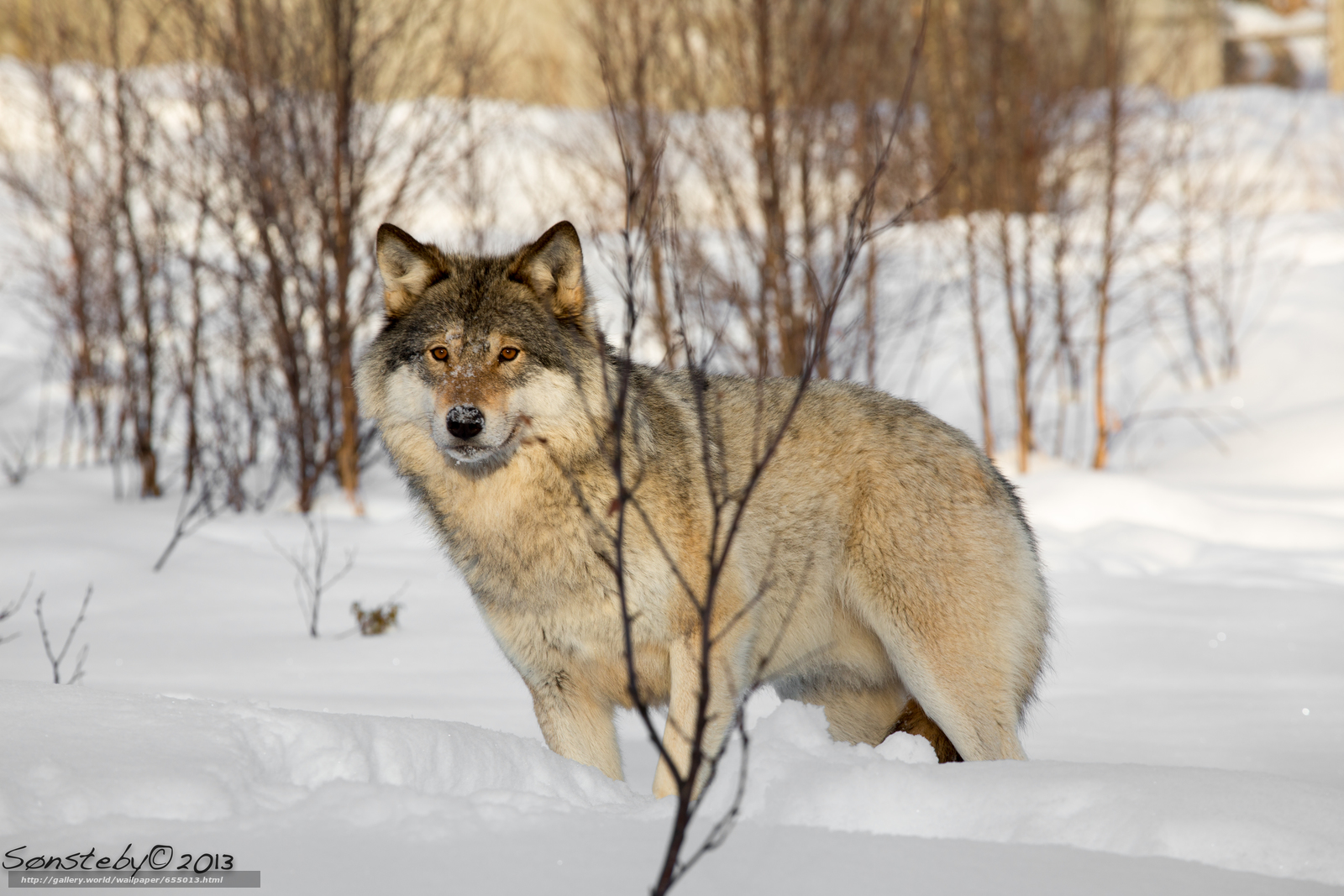Download wallpaper wolf,  Wolves,  animals,  winter free desktop wallpaper in the resolution 5760x3840 — picture №655013