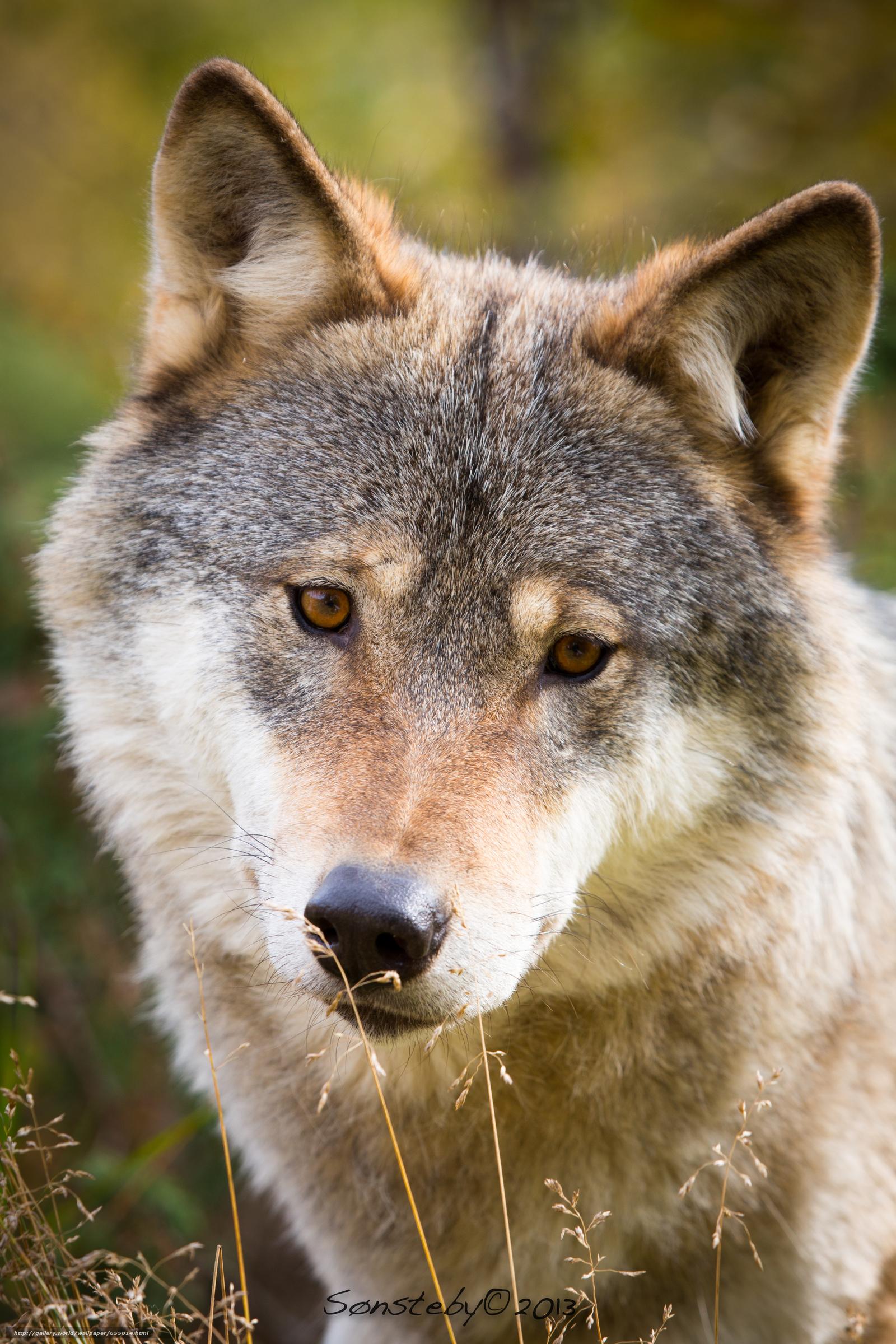 Tlcharger Fond d'ecran loup,  Wolves,  animaux,  portrait Fonds d'ecran gratuits pour votre rsolution du bureau 3840x5760 — image №655014