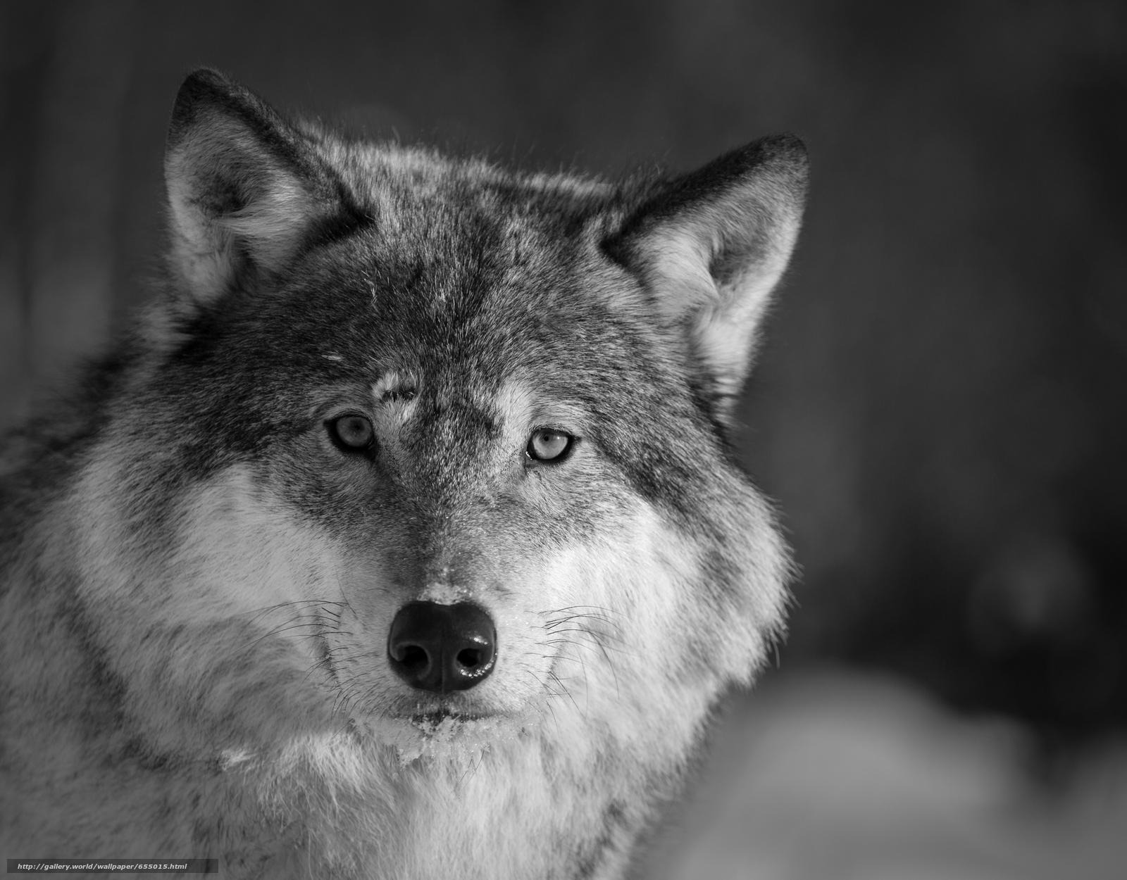 Tlcharger Fond d'ecran loup,  Wolves,  animaux,  hiver Fonds d'ecran gratuits pour votre rsolution du bureau 4278x3343 — image №655015