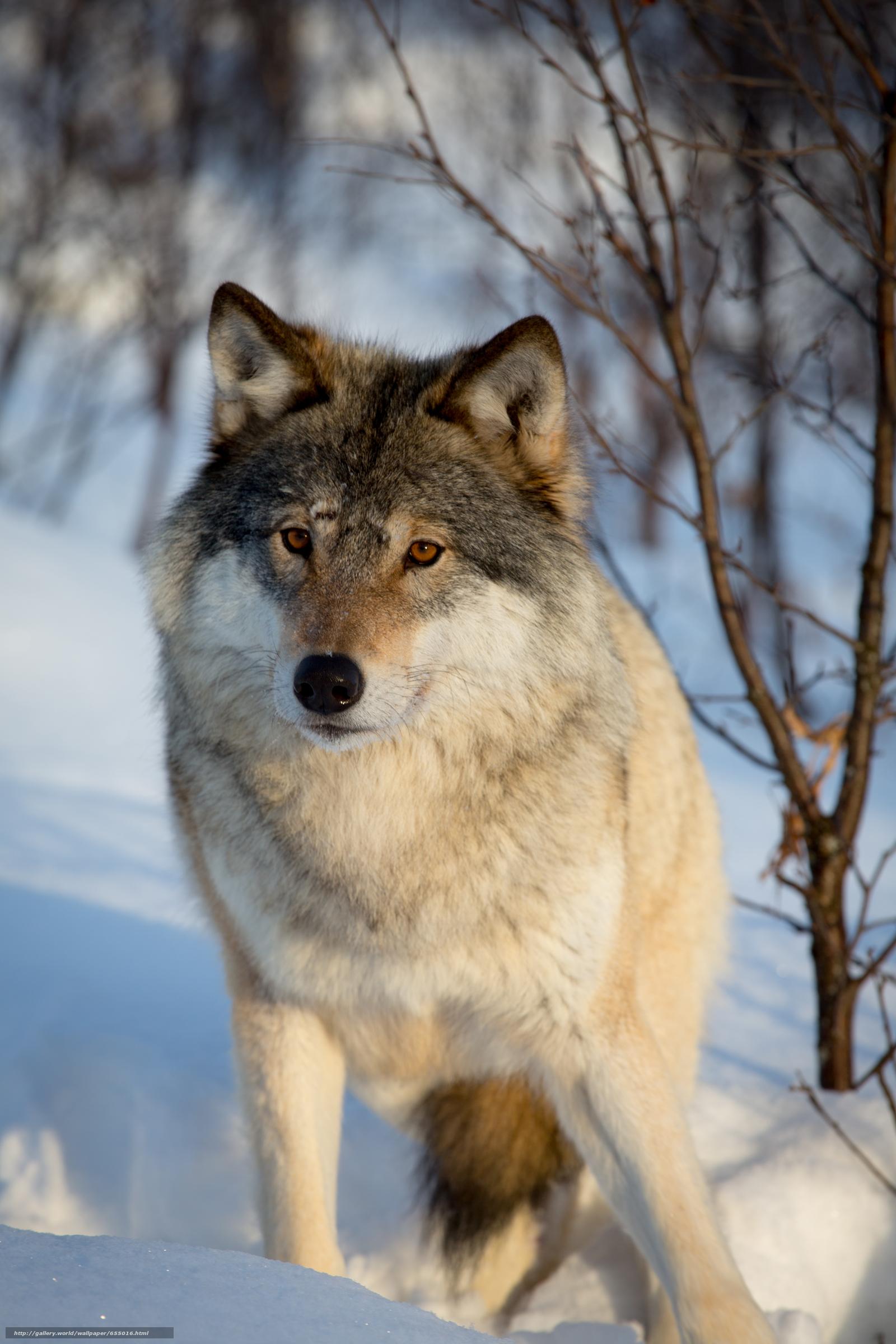 下载壁纸 狼, 狼队, 动物, 冬天 免费为您的桌面分辨率的壁纸 3840x57