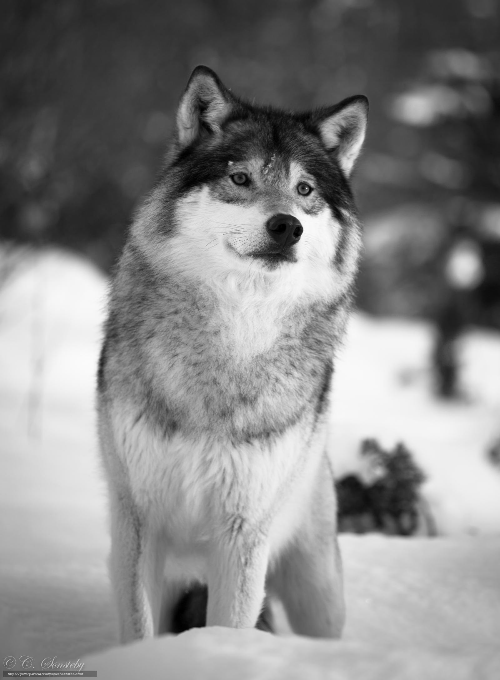 Tlcharger Fond d'ecran loup,  Wolves,  animaux,  hiver Fonds d'ecran gratuits pour votre rsolution du bureau 3600x4895 — image №655017