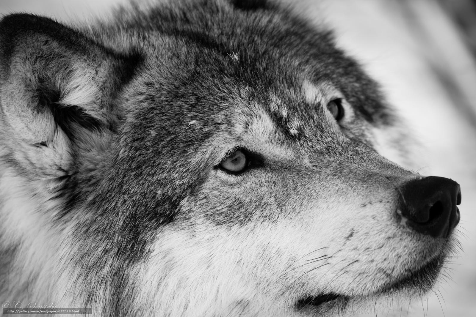 Tlcharger Fond d'ecran loup,  Wolves,  animaux,  hiver Fonds d'ecran gratuits pour votre rsolution du bureau 5760x3840 — image №655018
