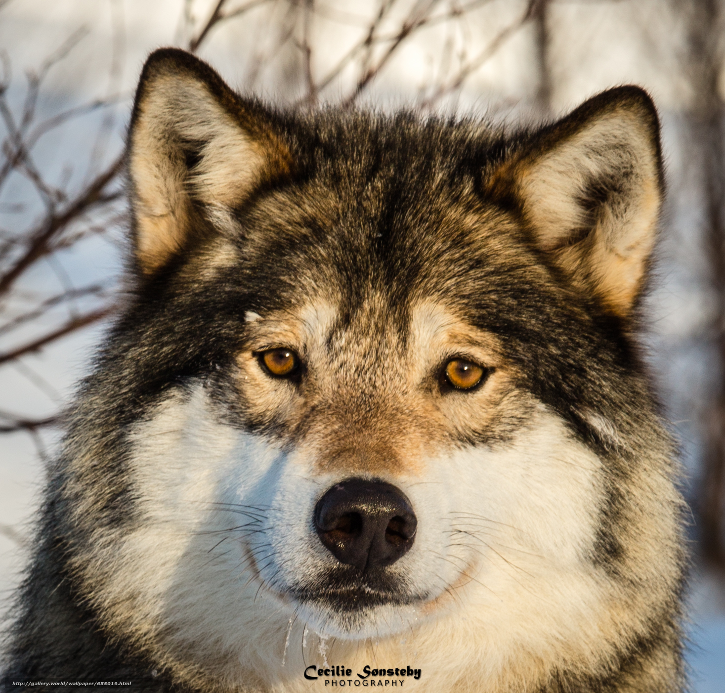 Download wallpaper wolf,  Wolves,  animals,  winter free desktop wallpaper in the resolution 1467x1402 — picture №655019
